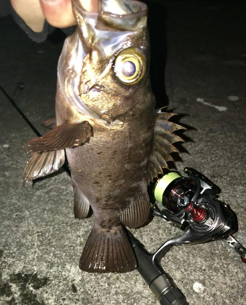 早川港で釣れたデカメバル