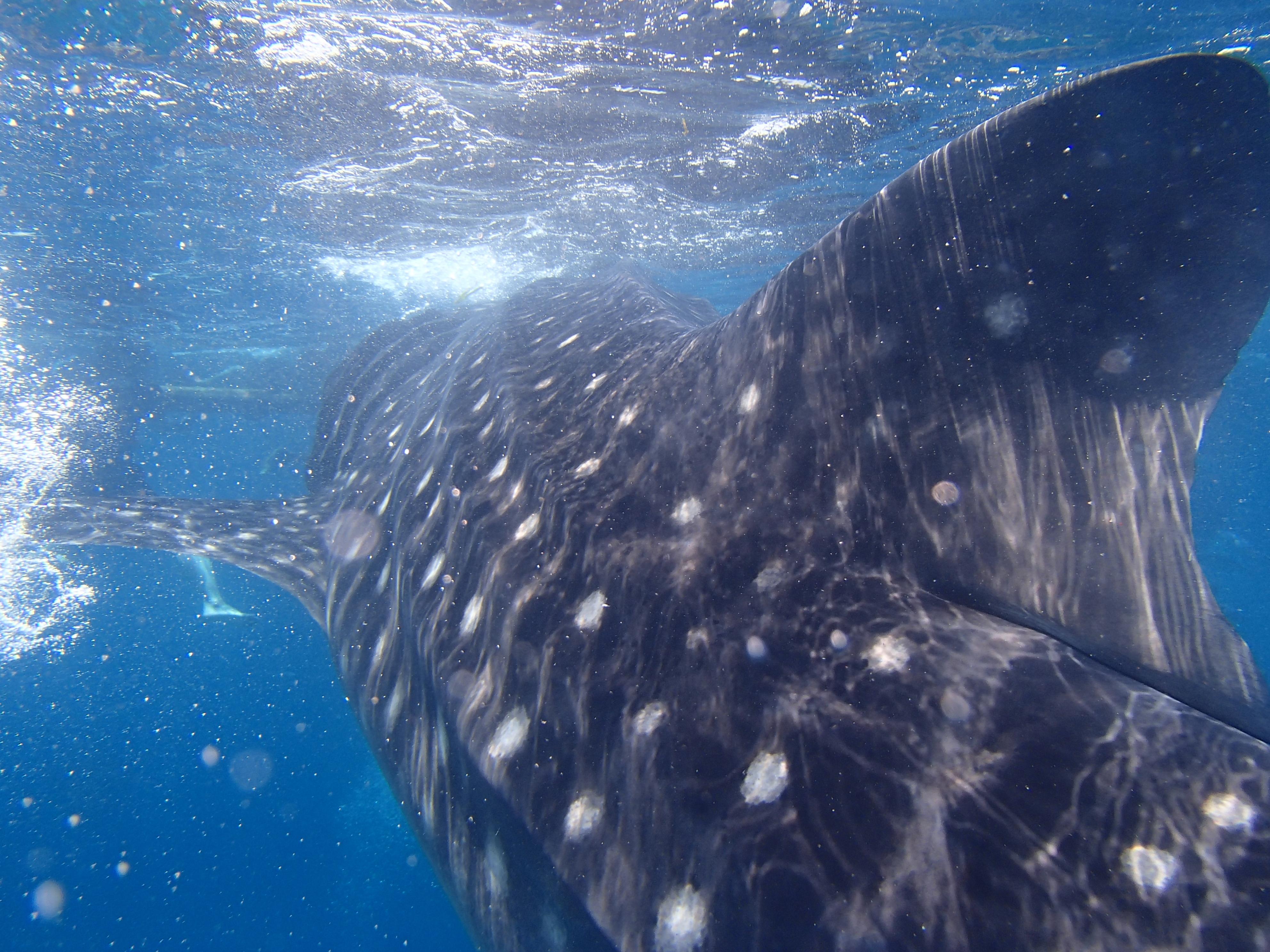 ジンベイザメの背びれ