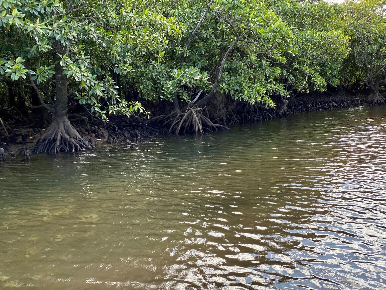 マングローブの川