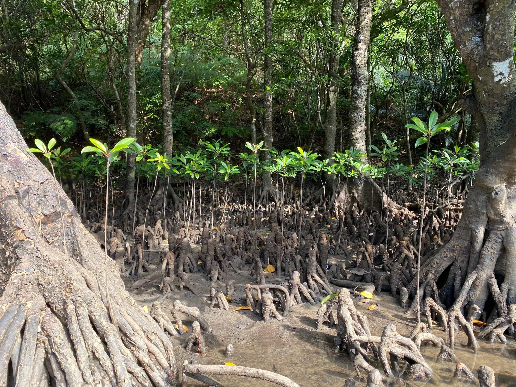 マングローブの引き潮時は水がなーい
