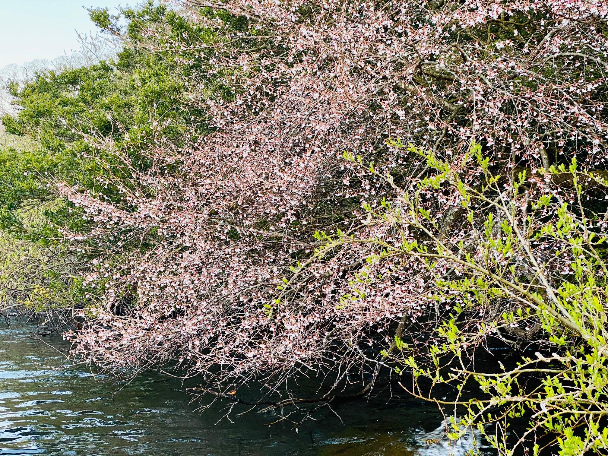 芦ノ湖のサクラ