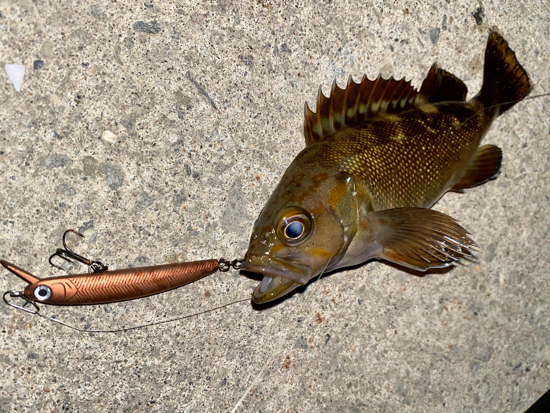 羅臼港の根魚