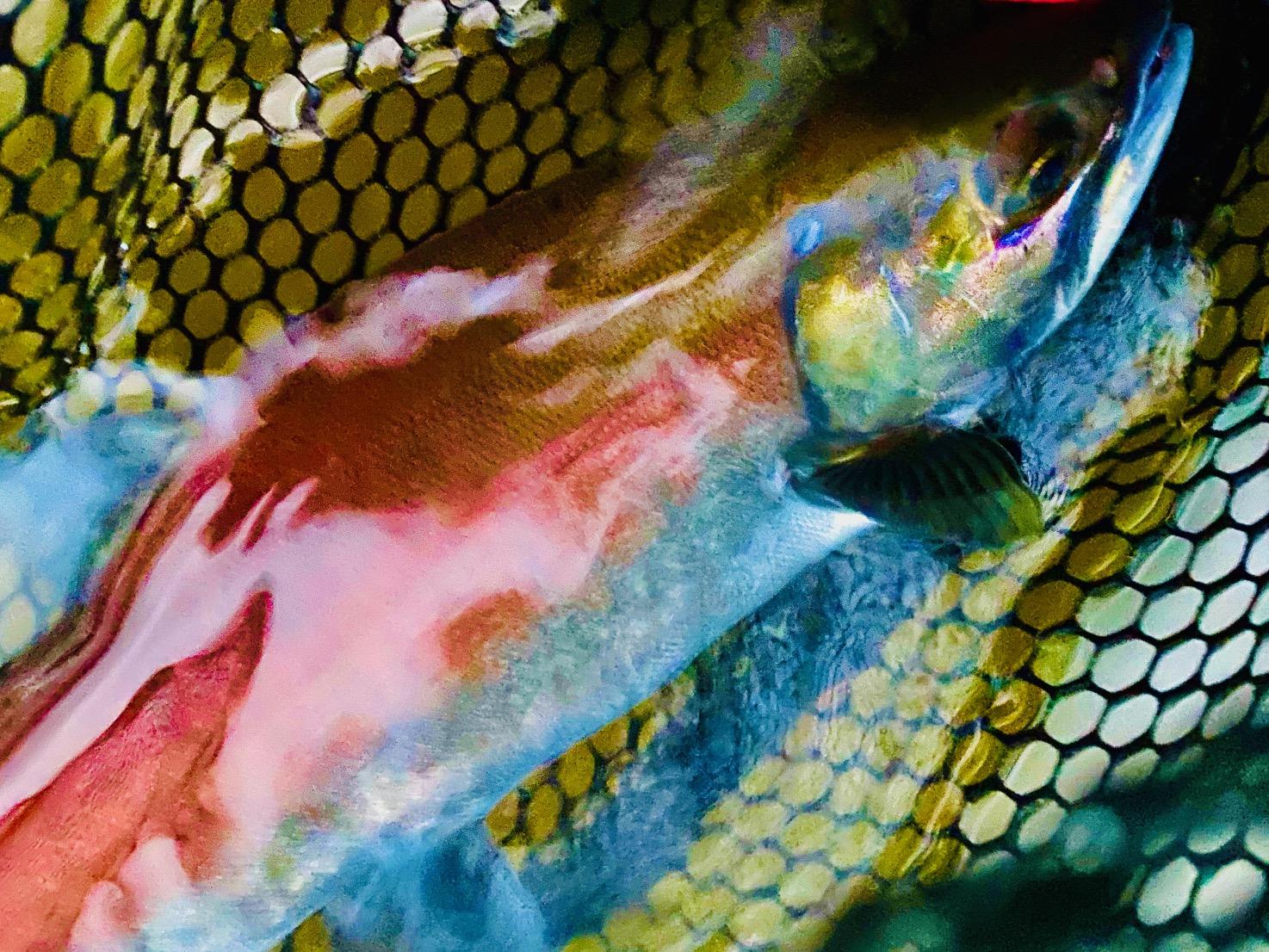 芦ノ湖の赤いヒメマス