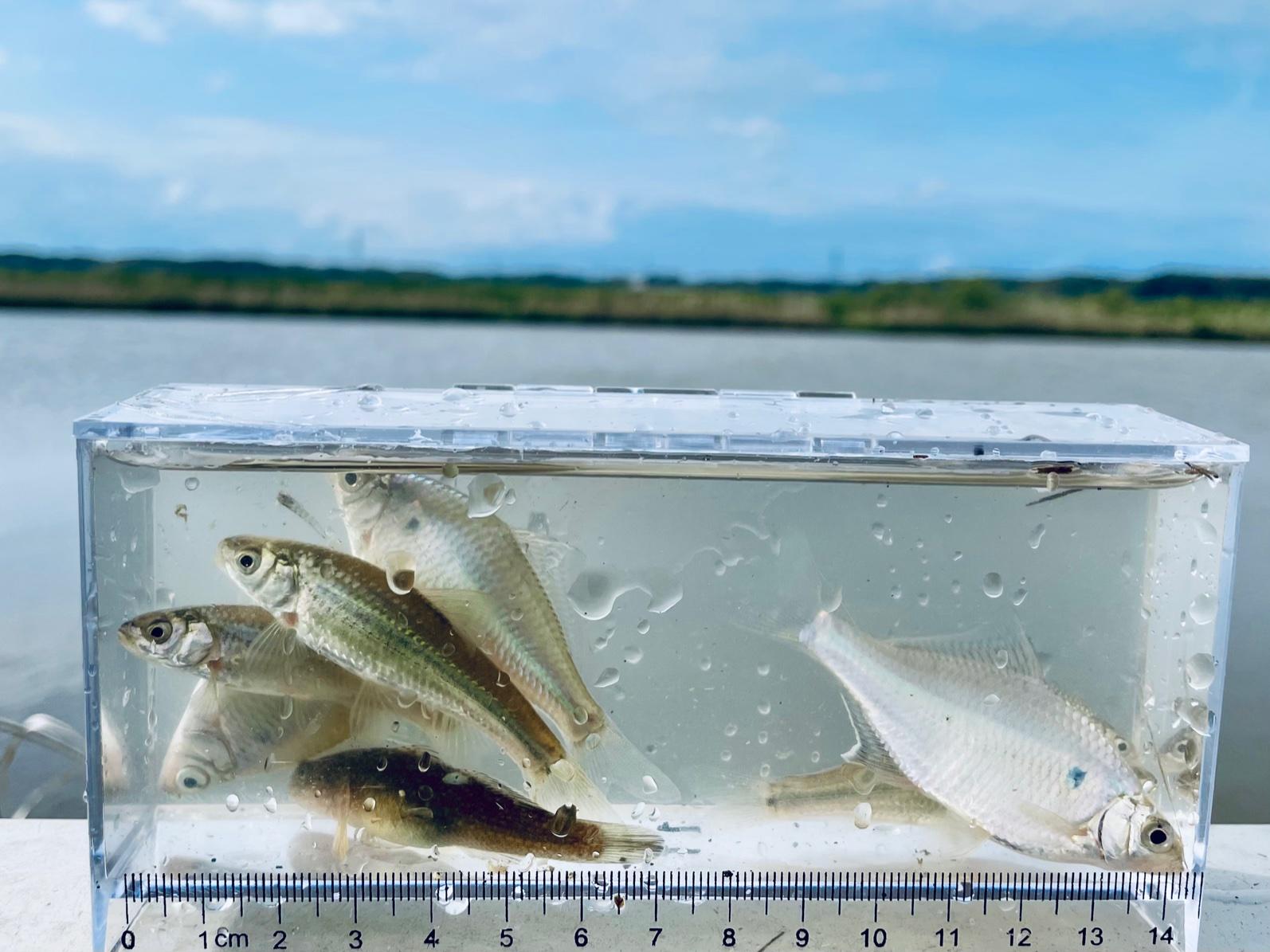 新利根川でタナゴ爆釣