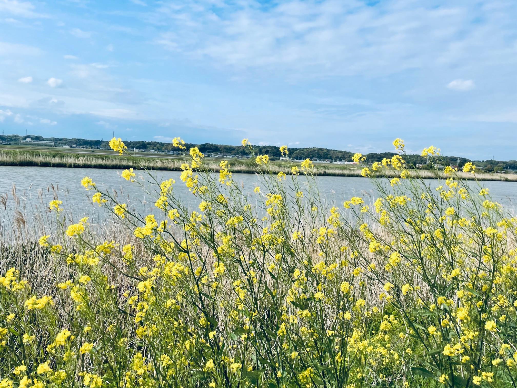 春の新利根川