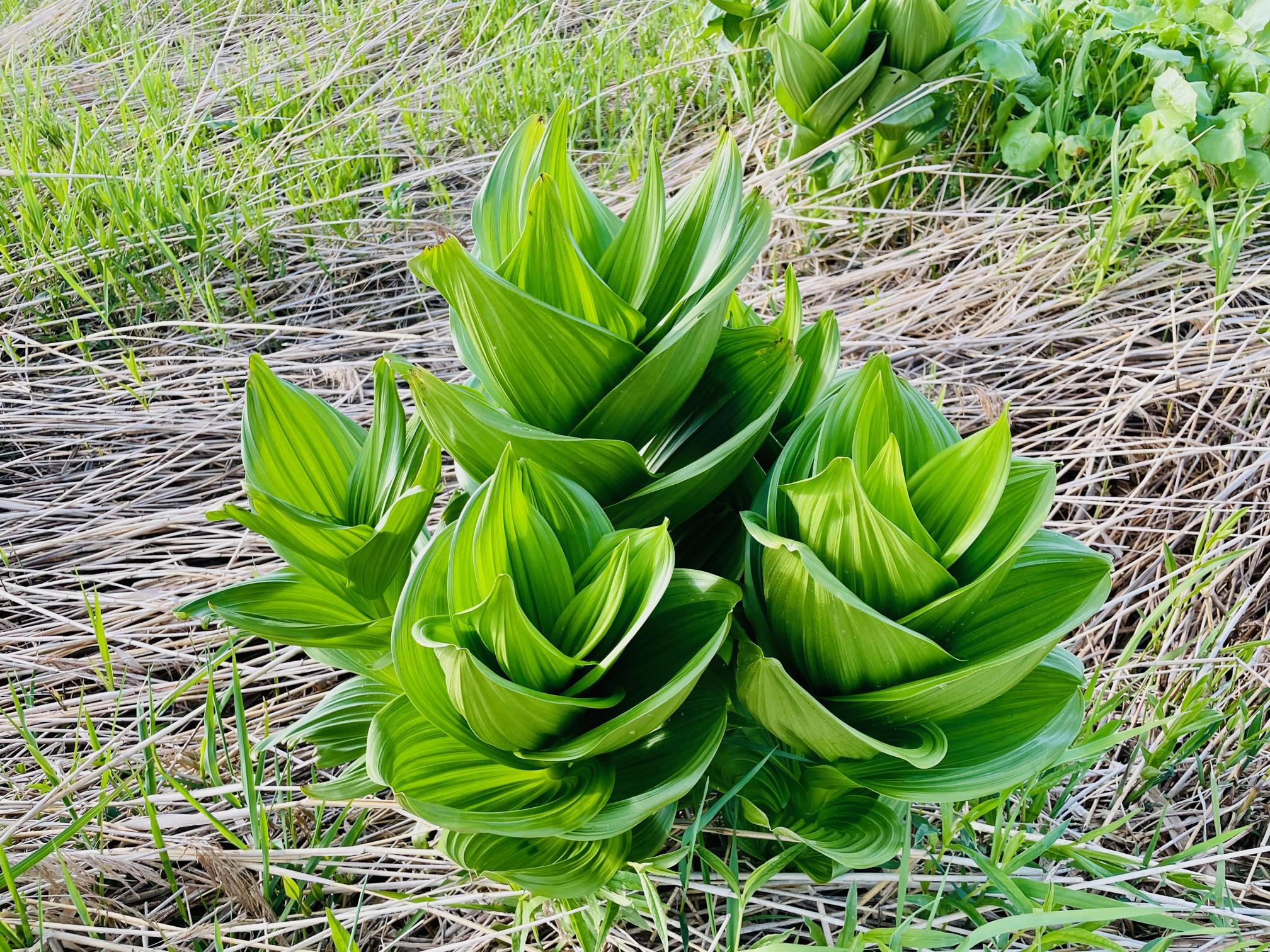 湿原の植物