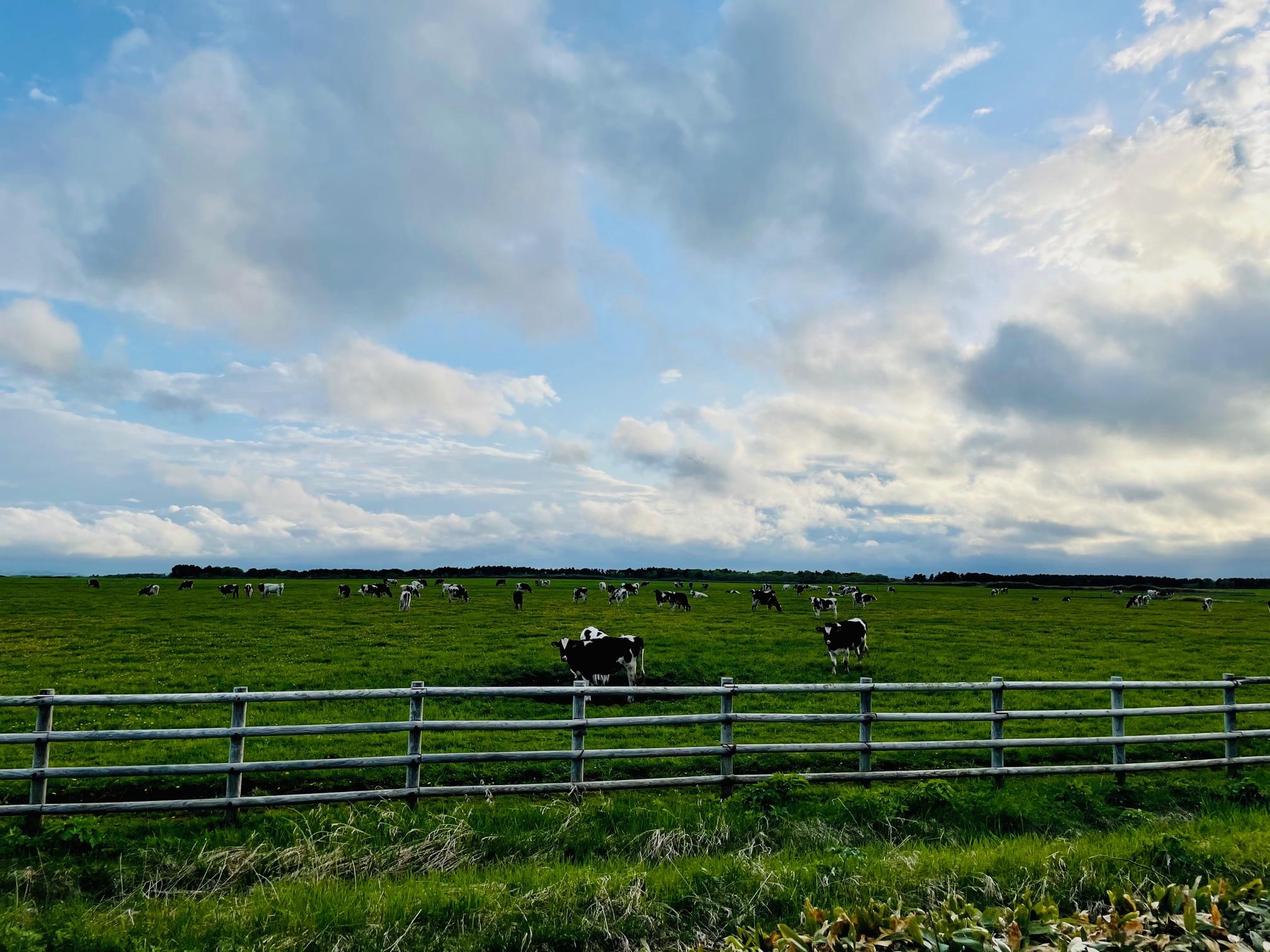 猿払牧場の牛