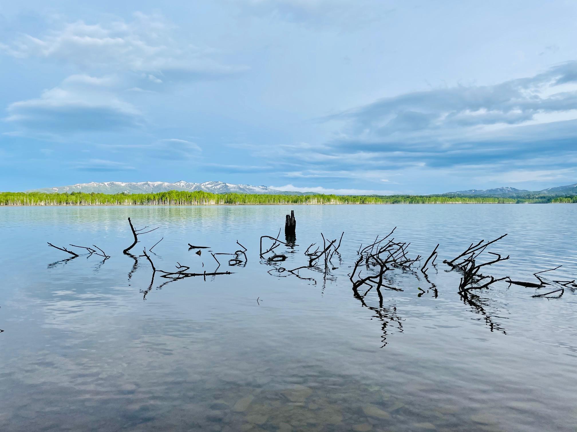 朱鞠内湖 冠水したヤナギ