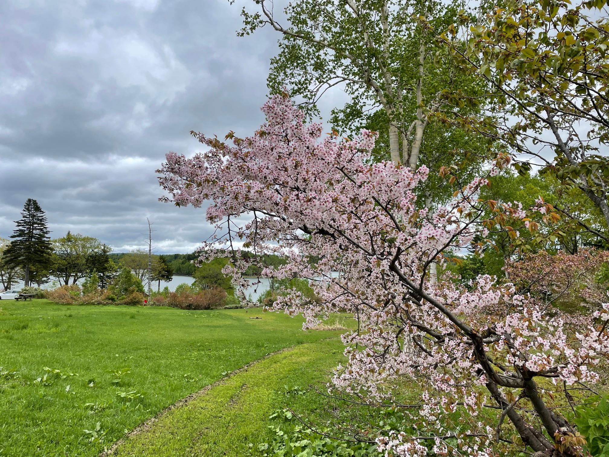 朱鞠内湖の桜