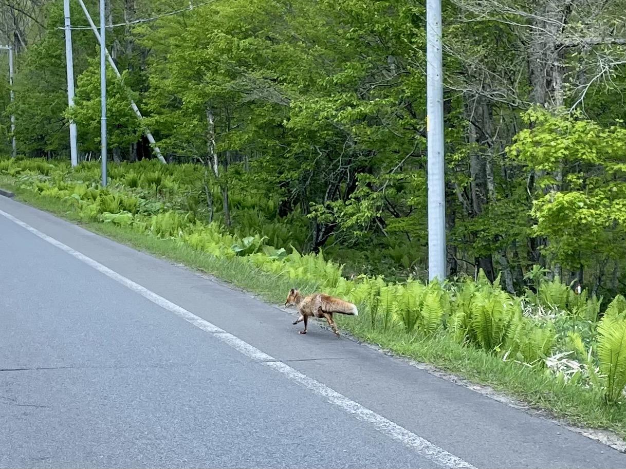 キタキツネを道路に出てくる