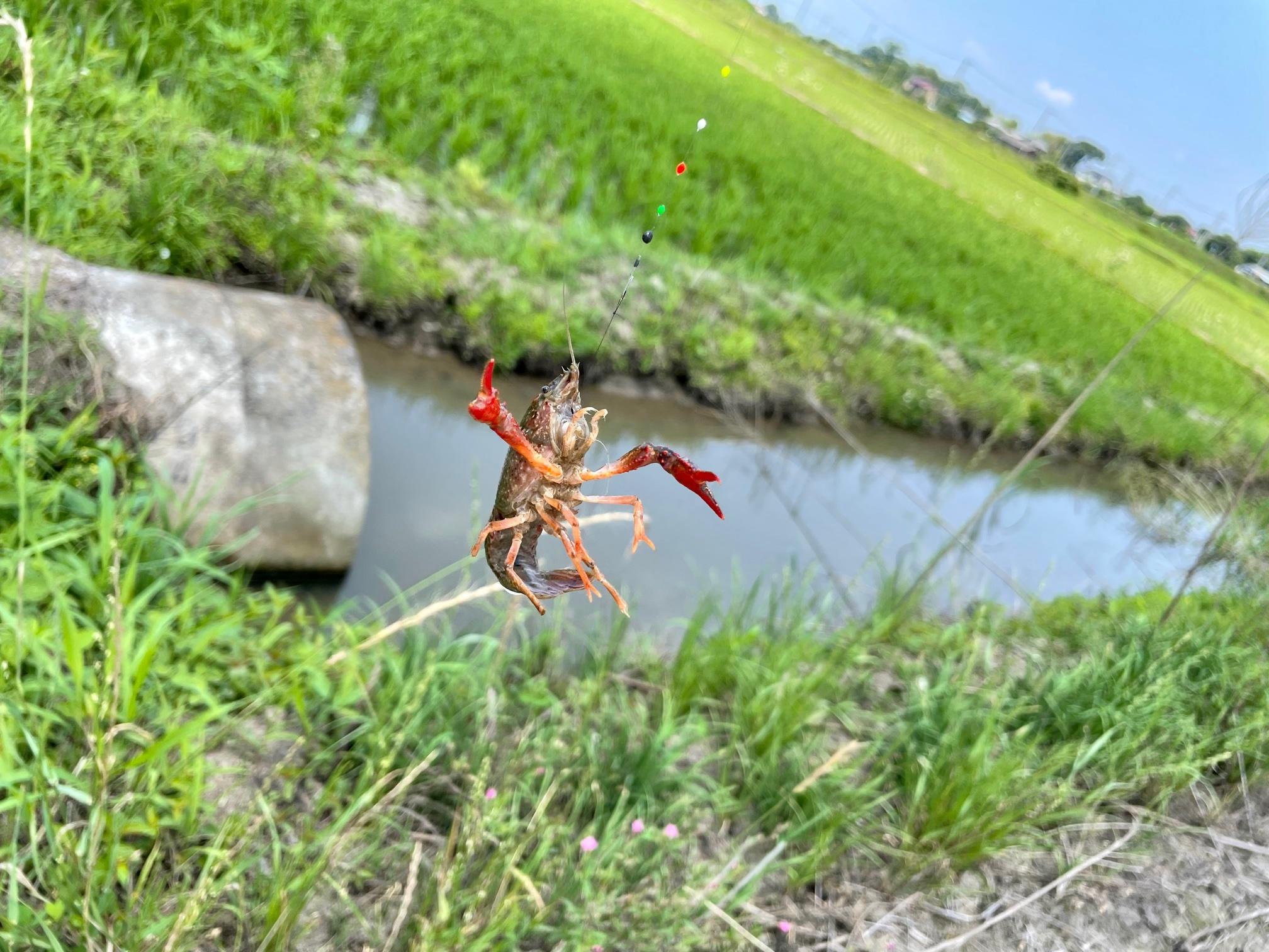 埼玉のザリガニ釣り