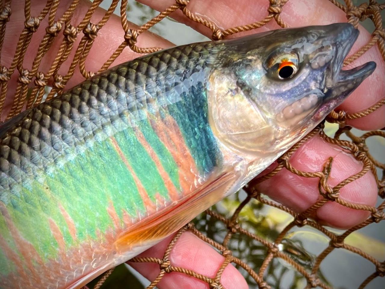 相模川のオイカワフライ釣り