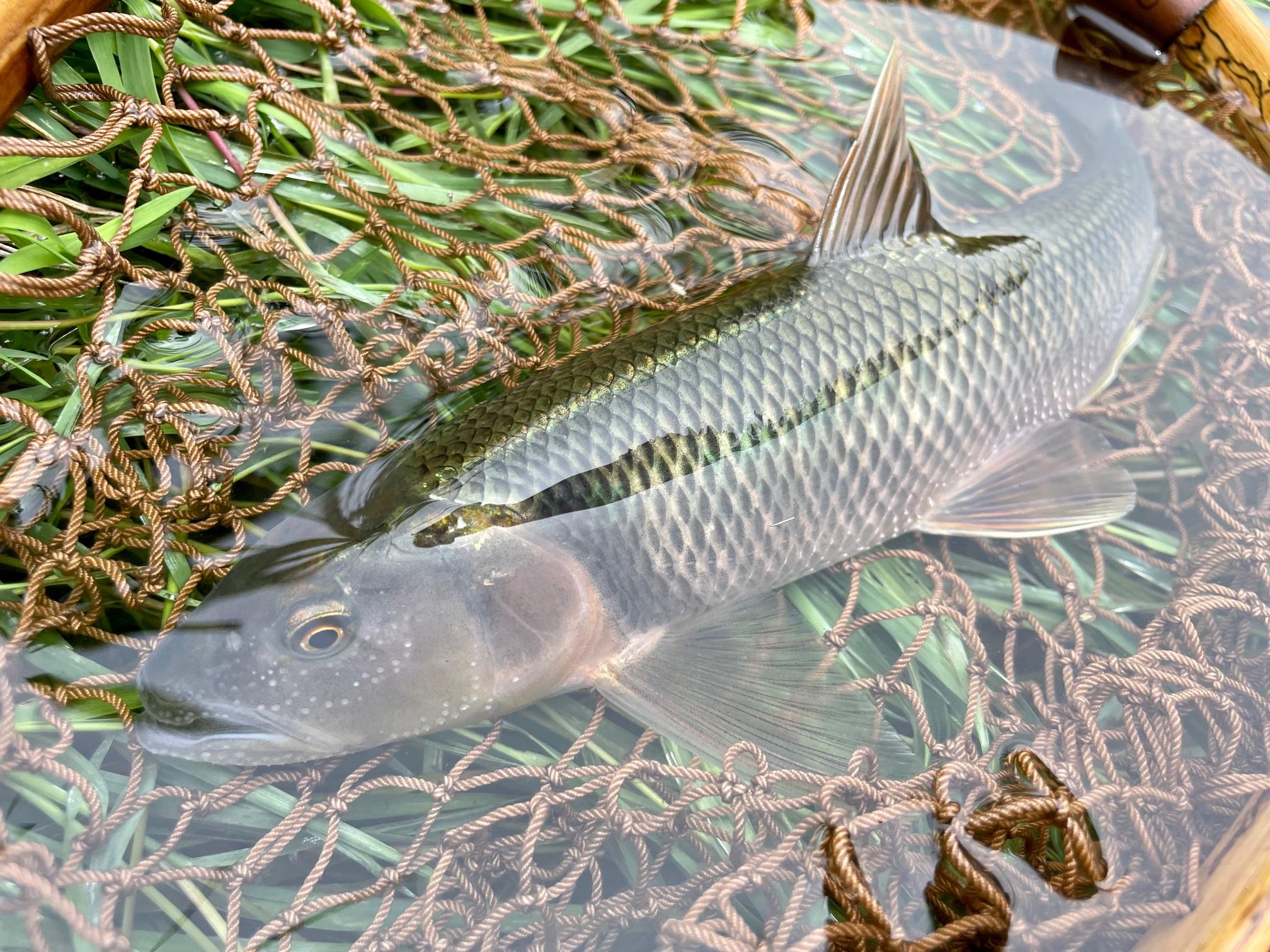 相模川のハス釣り