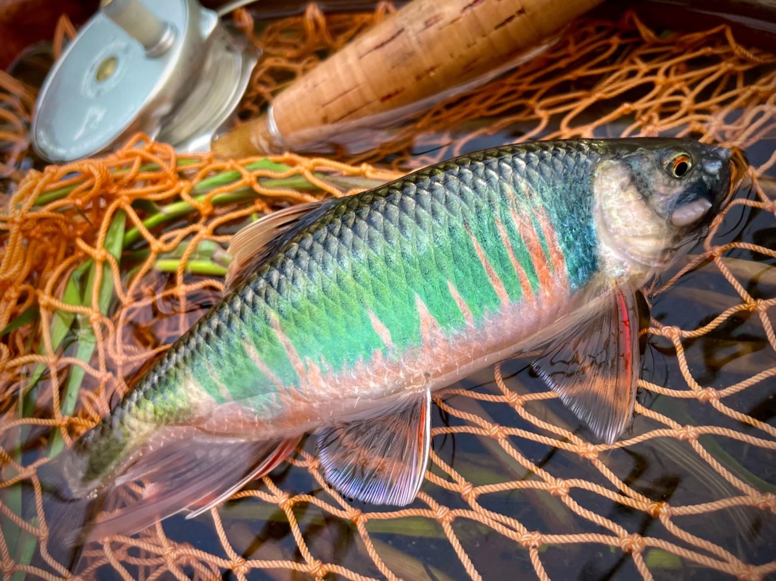 フライで釣る美しい桂川のオイカワ