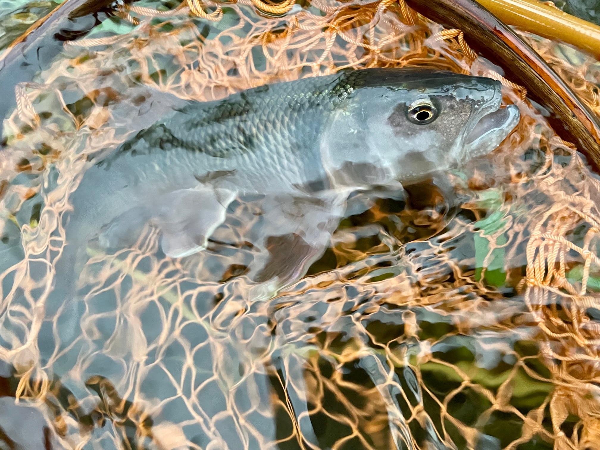桂川のハスをフライで釣る